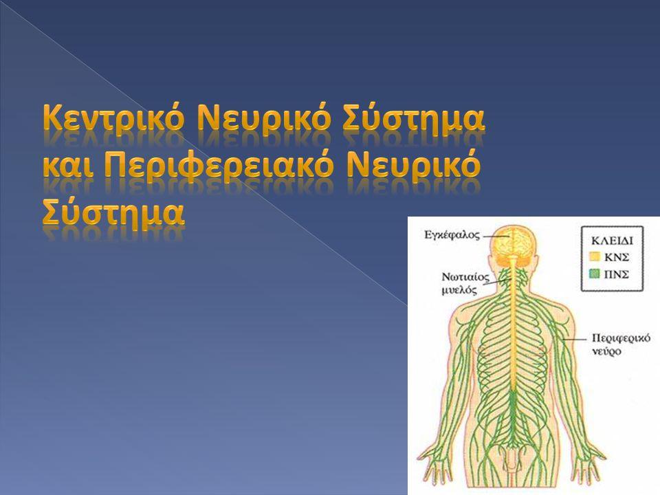 Κεντρικό Νευρικό Σύστημα και Περιφερειακό Νευρικό Σύστημα