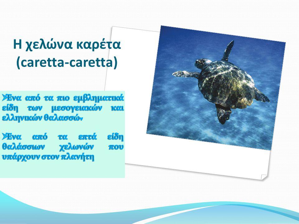 Η χελώνα καρέτα (caretta-caretta)