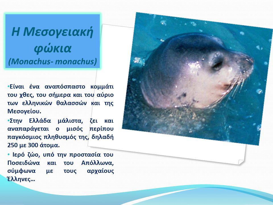 Η Μεσογειακή φώκια (Monachus- monachus)