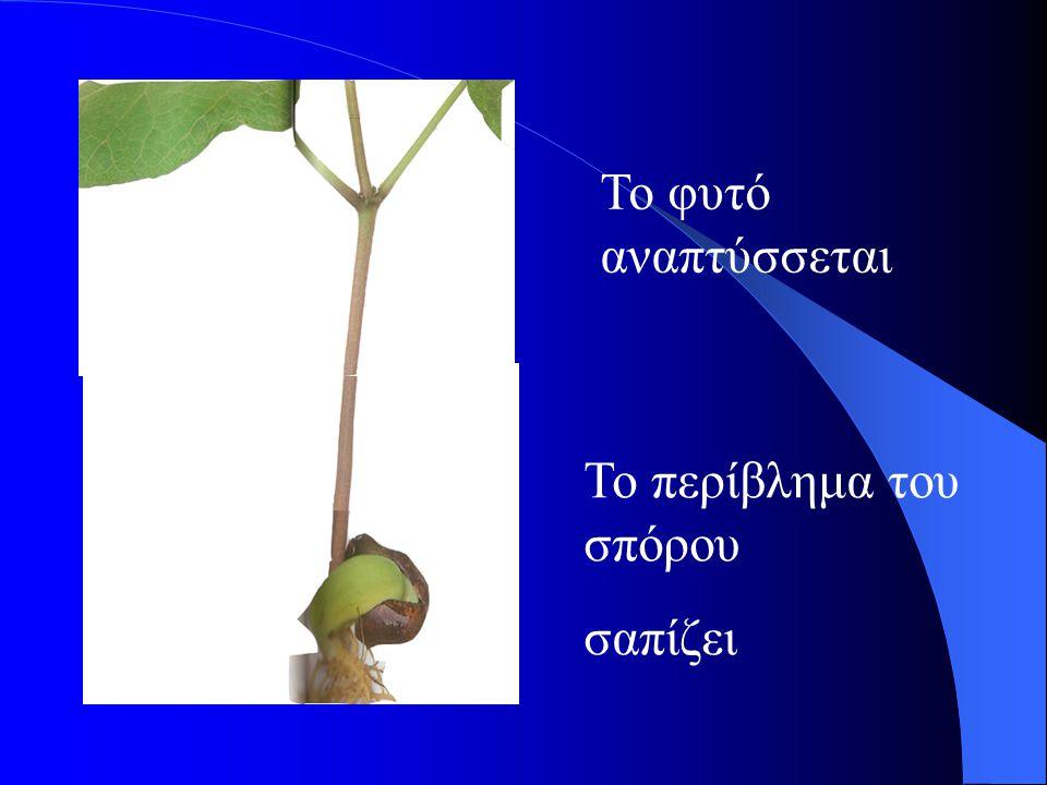 Το φυτό αναπτύσσεται Το περίβλημα του σπόρου σαπίζει