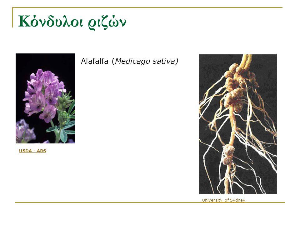 Κόνδυλοι ριζών Alafalfa (Medicago sativa) USDA - ARS