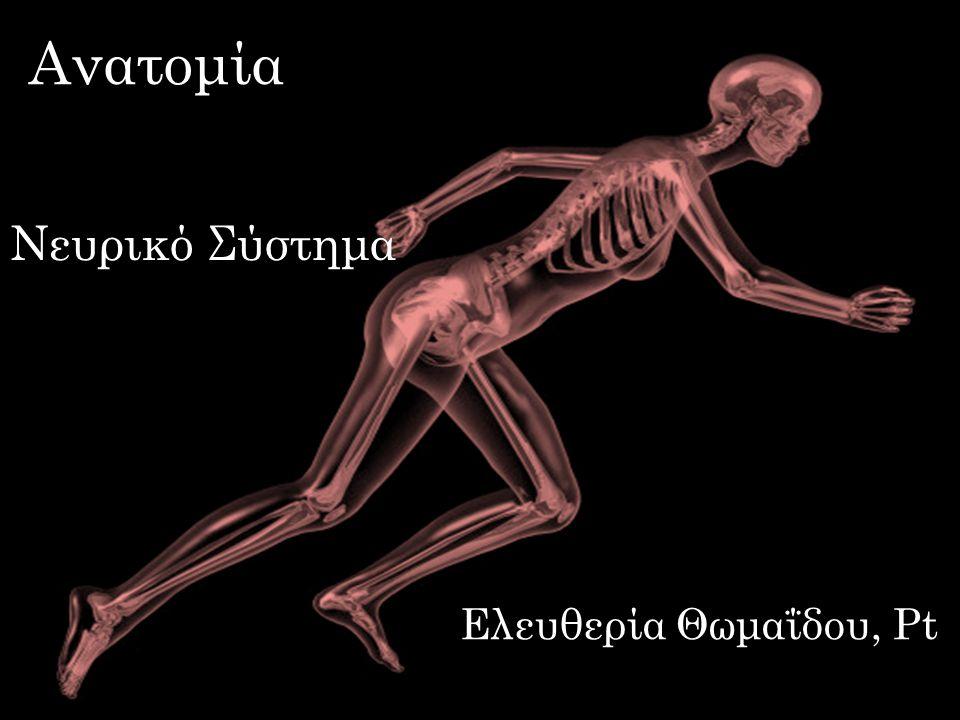 Ανατομία dsfsf Νευρικό Σύστημα dsfsf dsfsf Ελευθερία Θωμαΐδου, Pt
