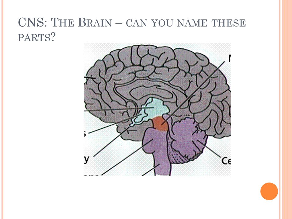 CNS: The Brain – can you name these parts