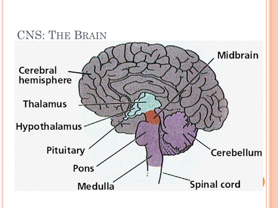 CNS: The Brain