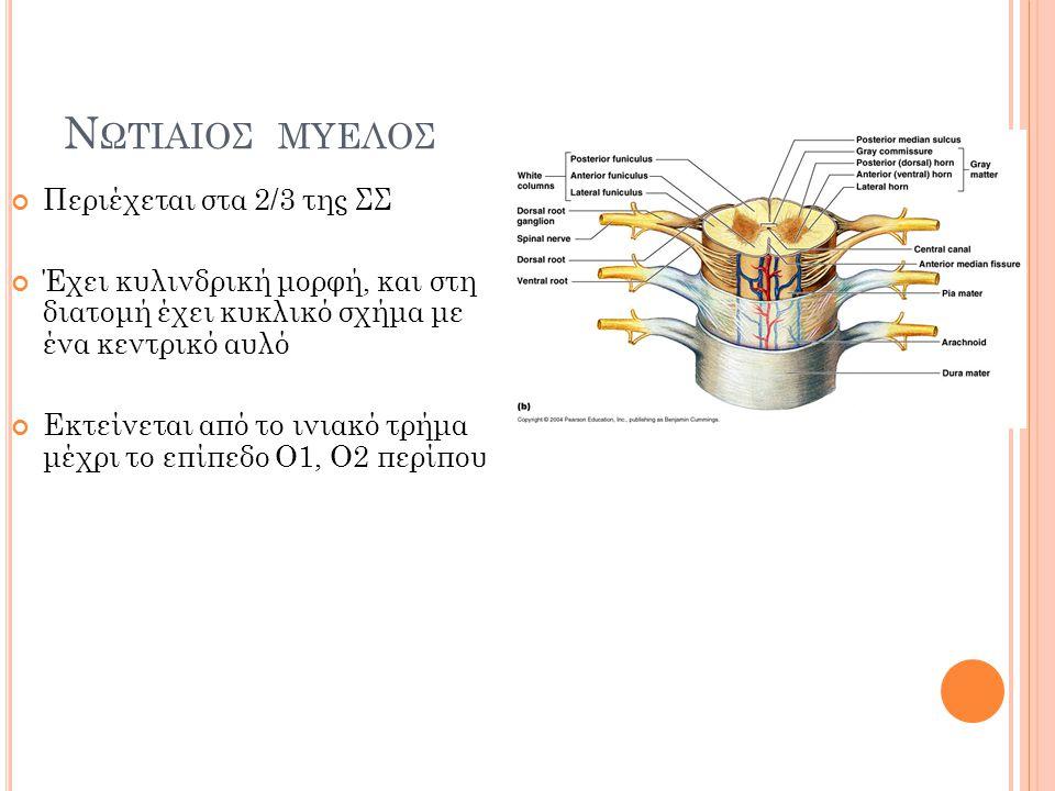 Νωτιαιος μυελος Περιέχεται στα 2/3 της ΣΣ