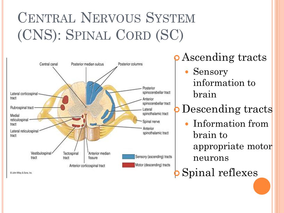Central Nervous System (CNS): Spinal Cord (SC)
