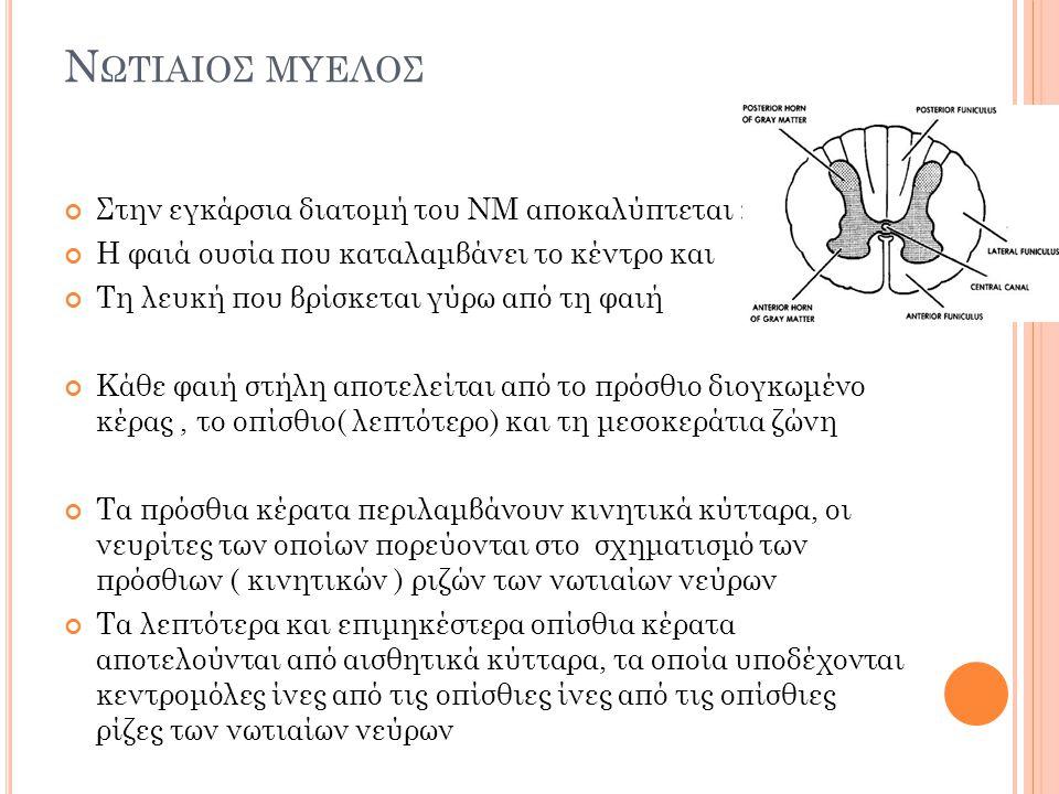 Νωτιαιοσ μυελος Στην εγκάρσια διατομή του ΝΜ αποκαλύπτεται :