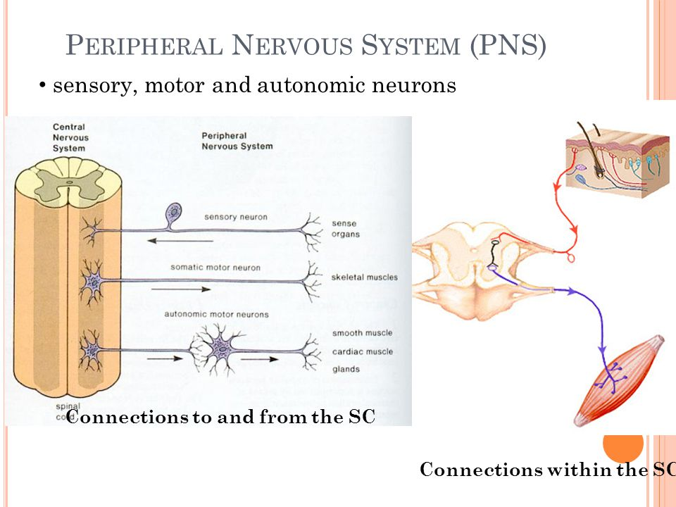 Peripheral Nervous System (PNS)