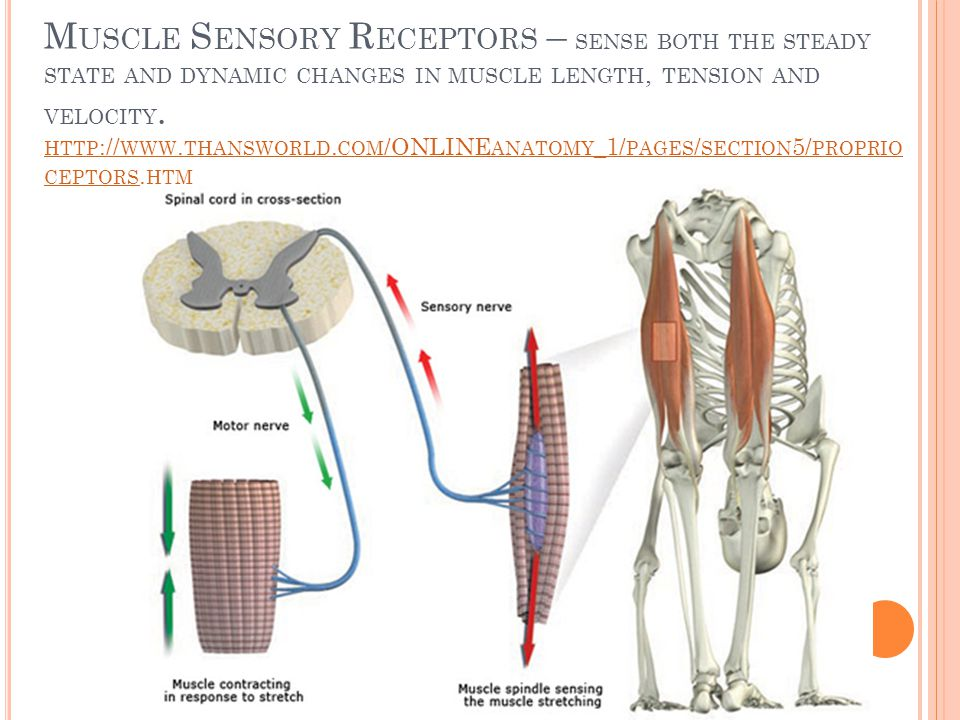 Muscle Sensory Receptors – sense both the steady state and dynamic changes in muscle length, tension and velocity. http://www.thansworld.com/ONLINEanatomy_1/pages/section5/proprioceptors.htm