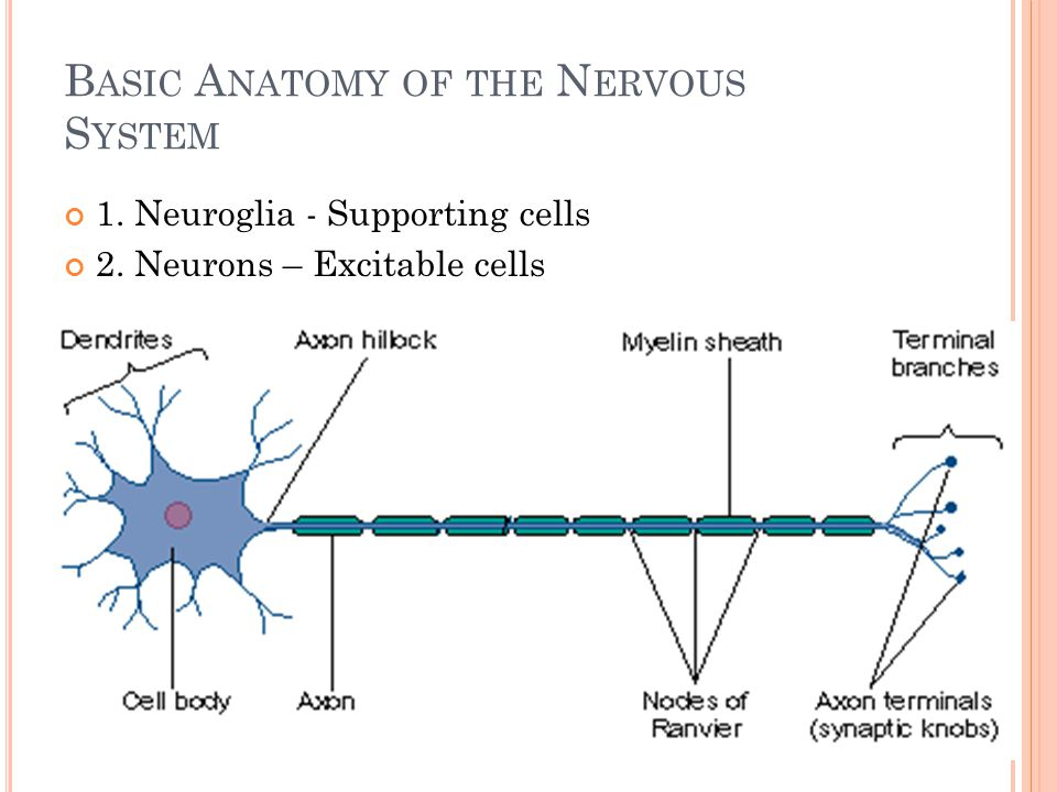 Basic Anatomy of the Nervous System