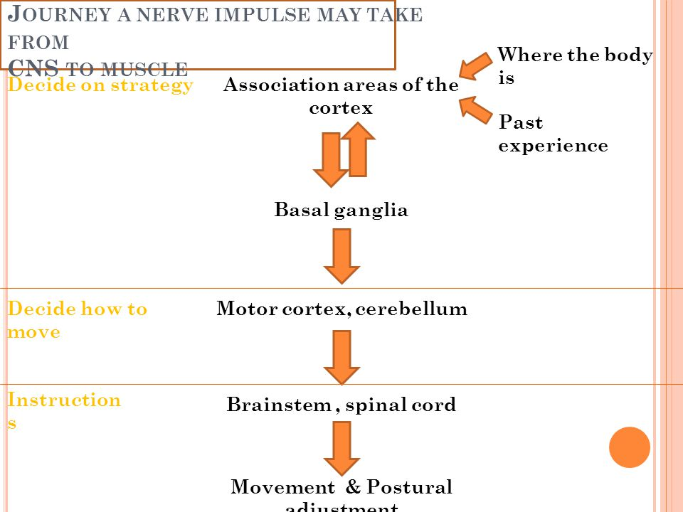 Journey a nerve impulse may take from CNS to muscle