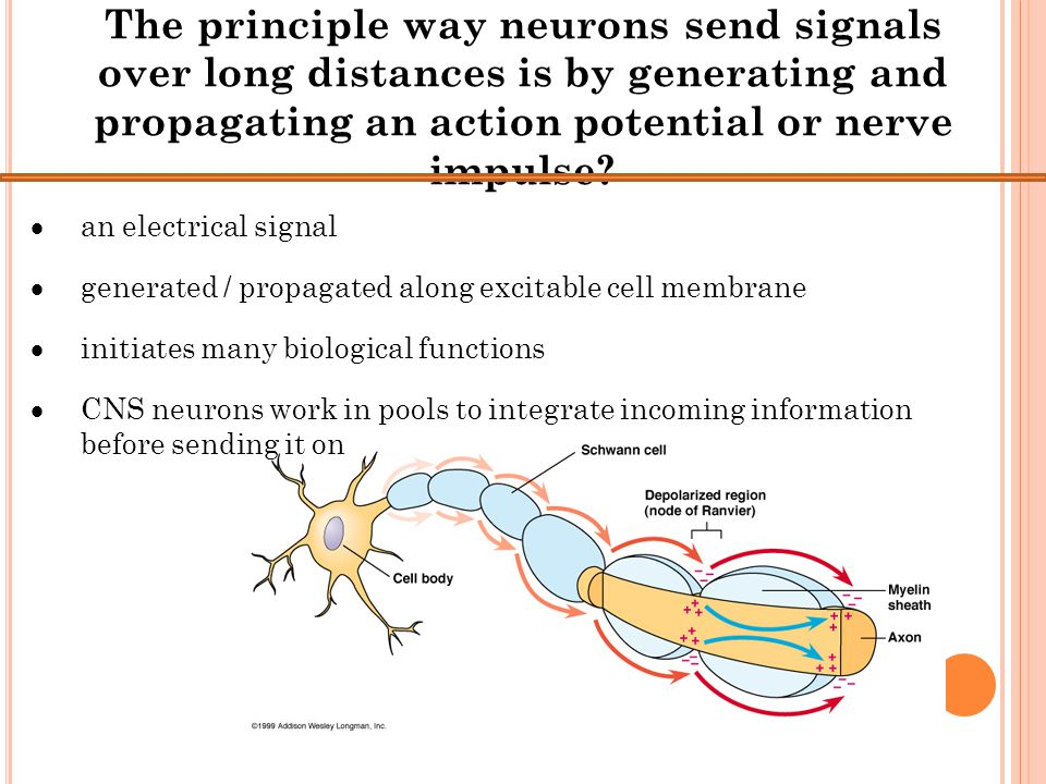 The principle way neurons send signals over long distances is by generating and propagating an action potential or nerve impulse