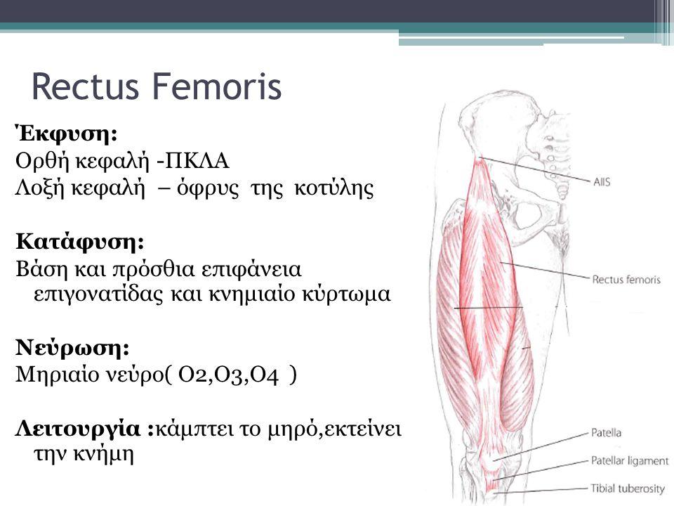 Rectus Femoris Έκφυση: Ορθή κεφαλή -ΠΚΛΑ