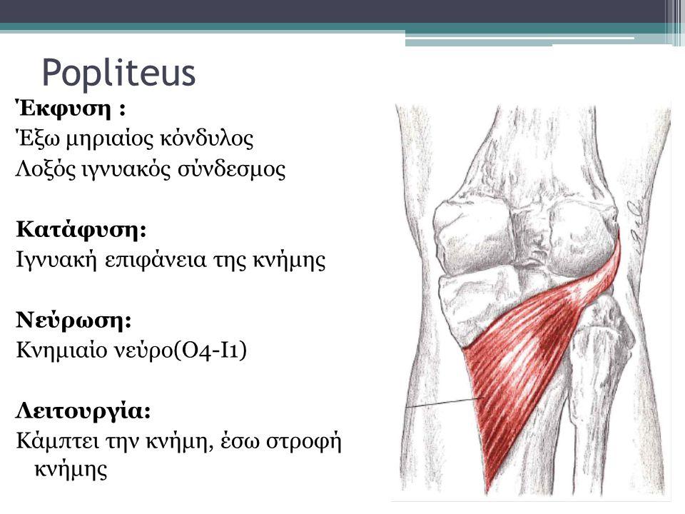 Popliteus