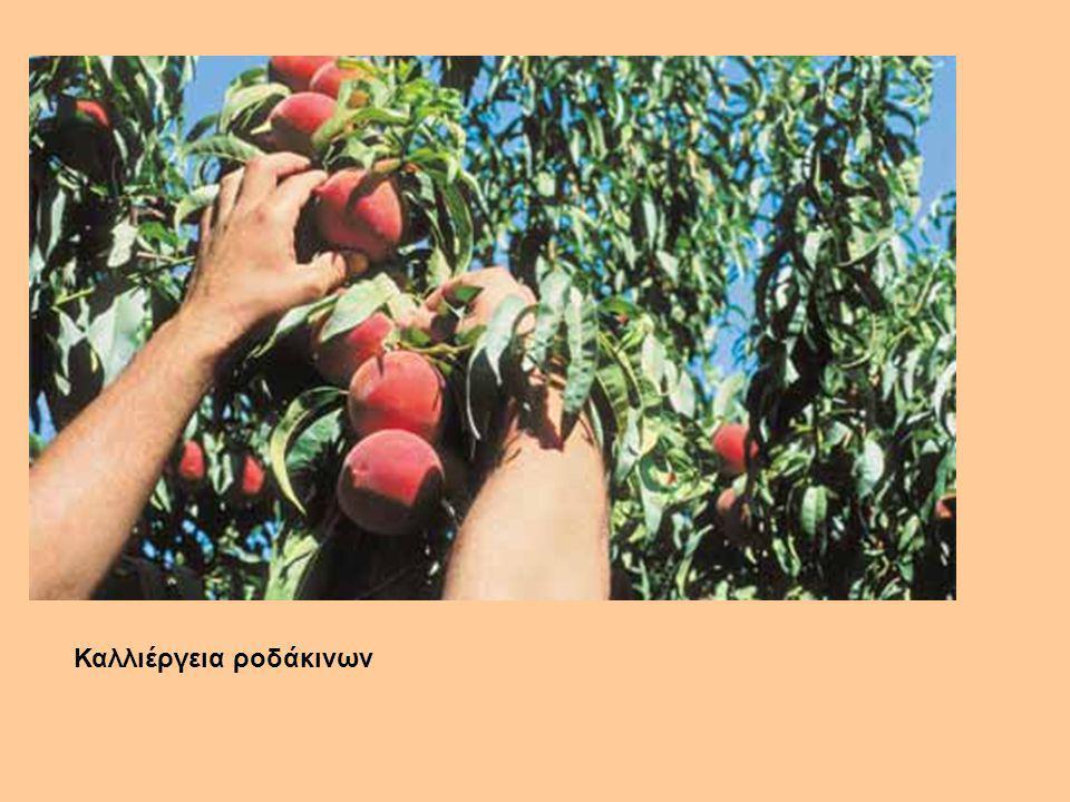 Καλλιέργεια ροδάκινων