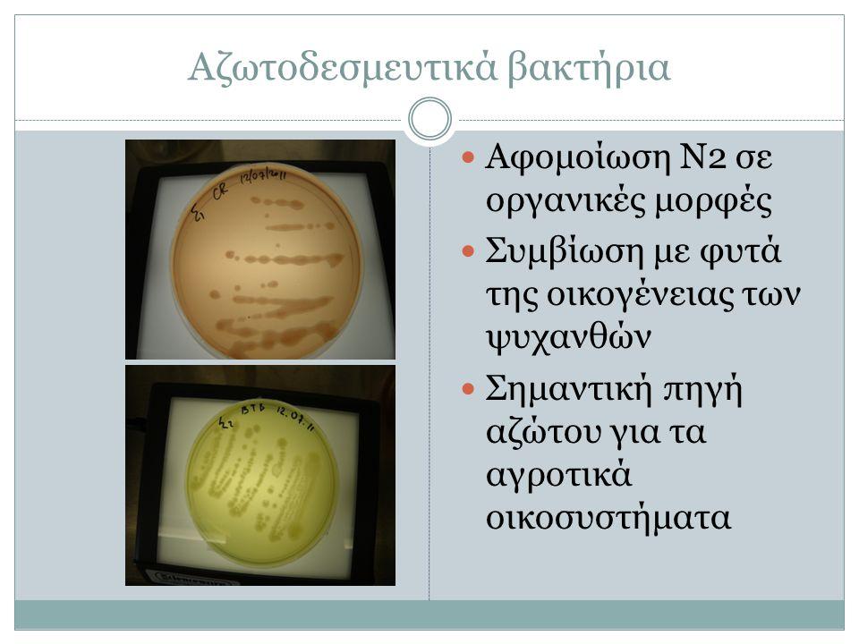 Αζωτοδεσμευτικά βακτήρια