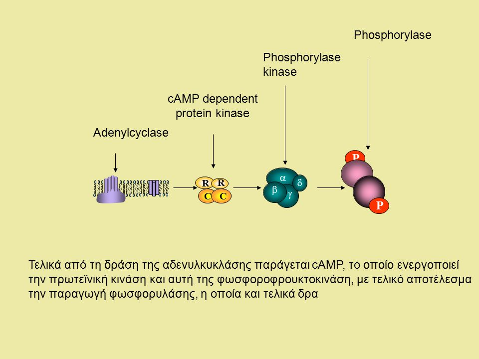 Phosphorylase Phosphorylase kinase cAMP dependent protein kinase
