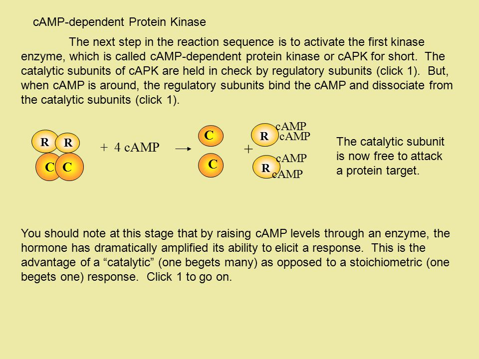 + C + 4 cAMP C cAMP-dependent Protein Kinase