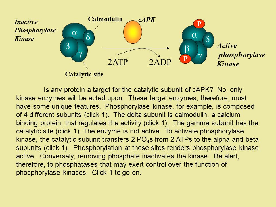 2ATP 2ADP         Active phosphorylase Kinase Calmodulin cAPK