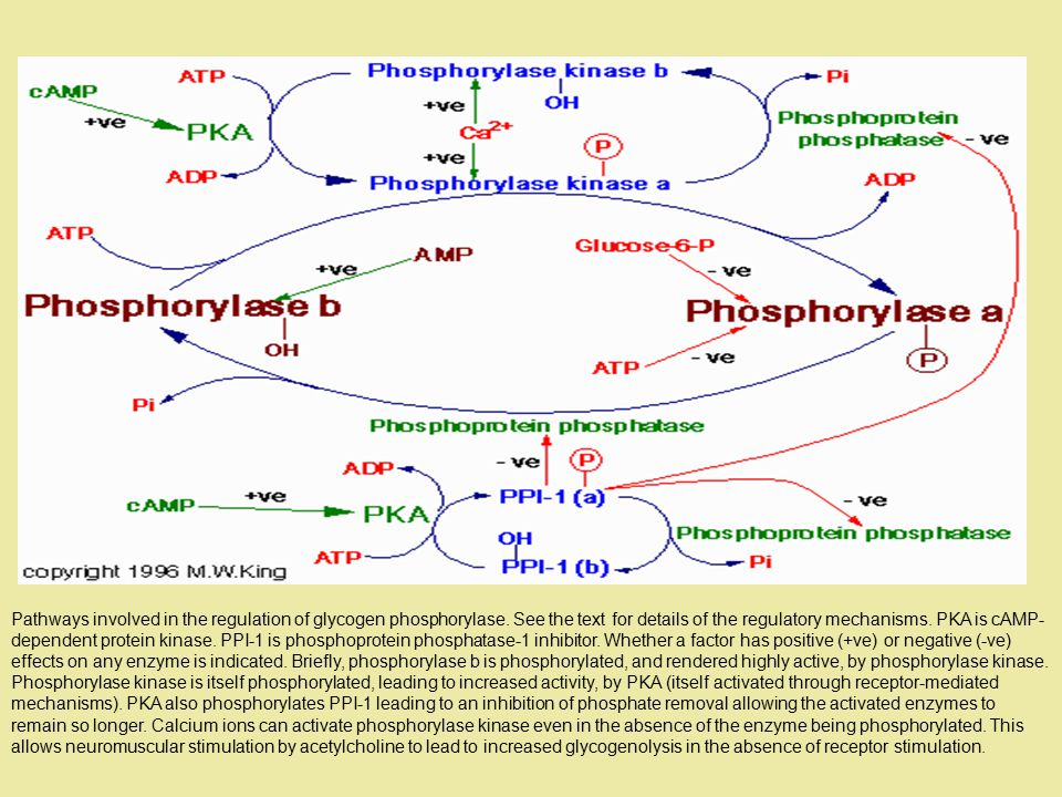 Pathways involved in the regulation of glycogen phosphorylase