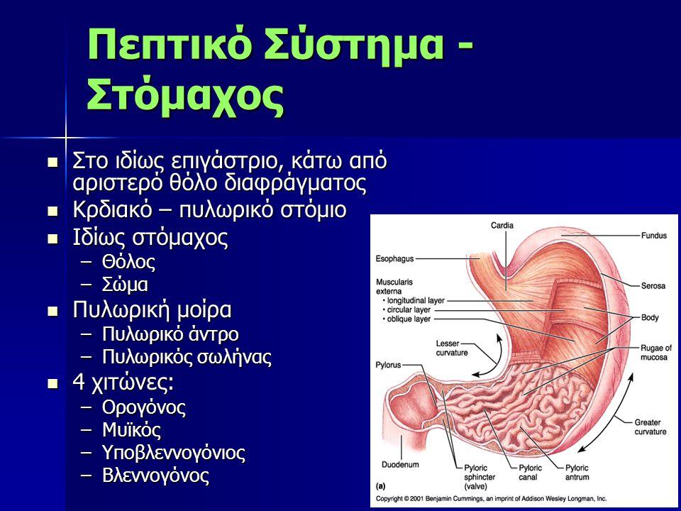 Πεπτικό Σύστημα - Στόμαχος