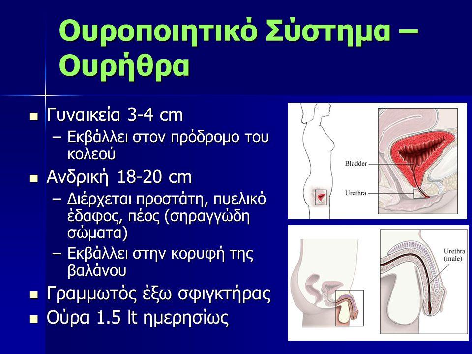 Ουροποιητικό Σύστημα – Ουρήθρα