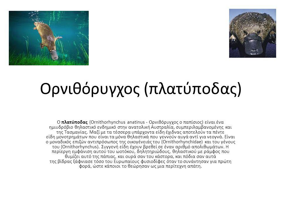 Ορνιθόρυγχος (πλατύποδας)