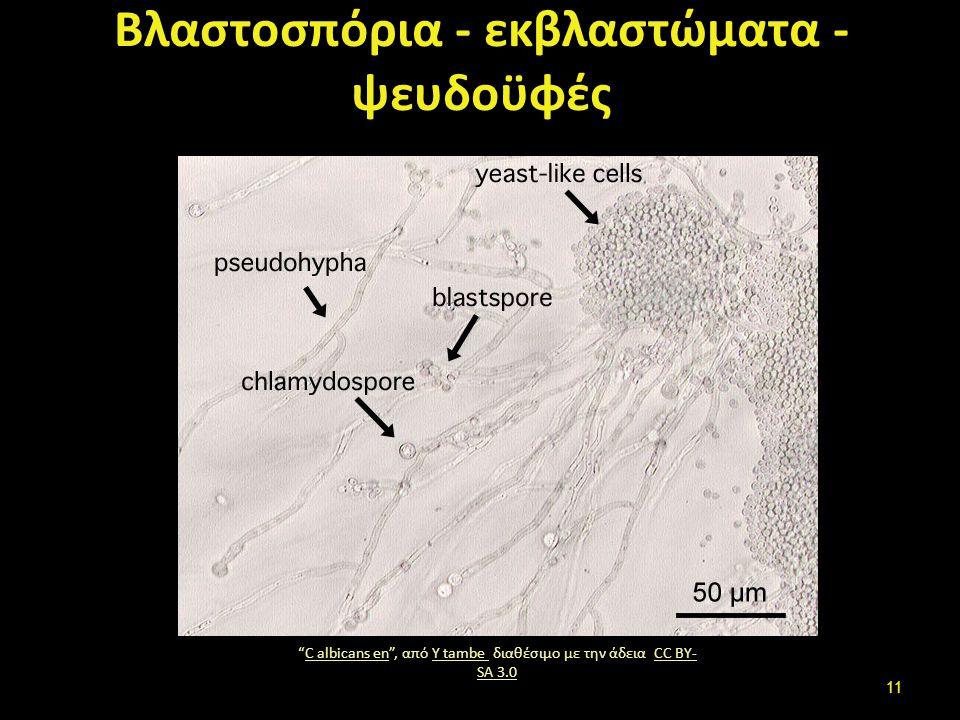 Είδη υφών – μυκητύλιων (1 από 4)