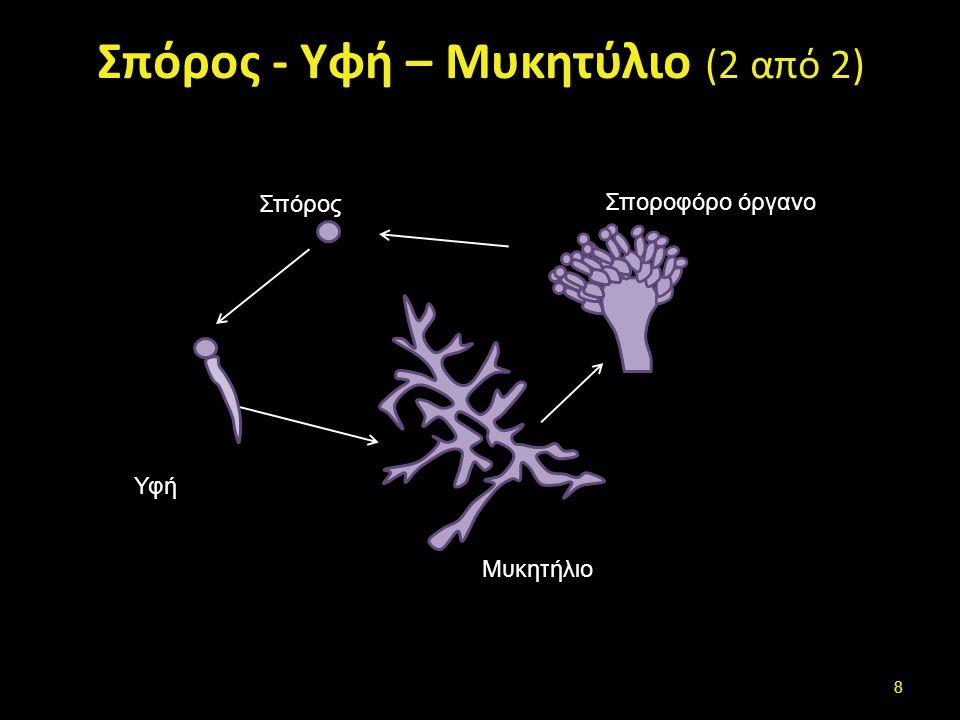 Μυκητύλιο-Μυκήλιο (mycelium)