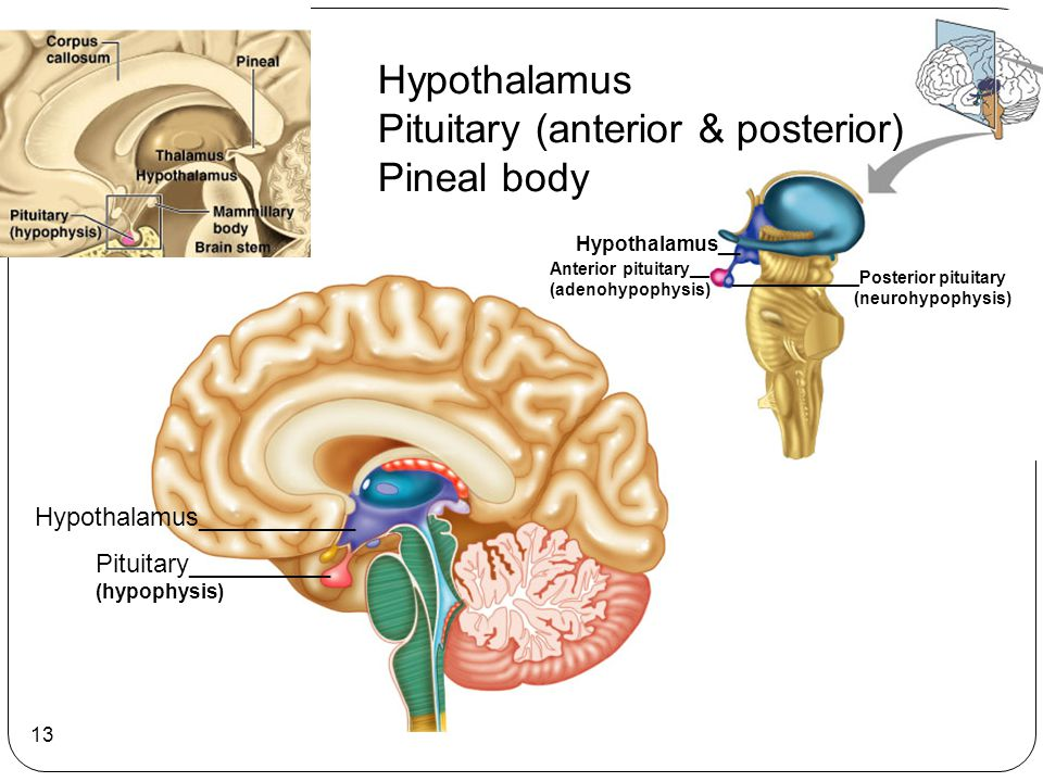 Pituitary (anterior & posterior) Pineal body