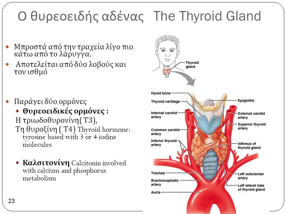 Ο θυρεοειδής αδένας The Thyroid Gland