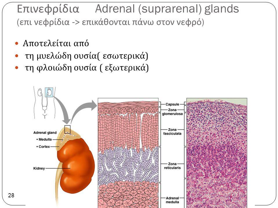 Επινεφρίδια Adrenal (suprarenal) glands (επι νεφρίδια -> επικάθονται πάνω στον νεφρό)