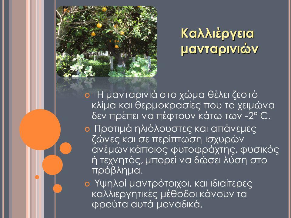 Καλλιέργεια μανταρινιών