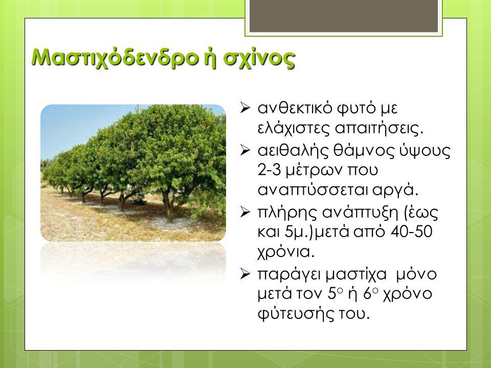 Μαστιχόδενδρο ή σχίνος
