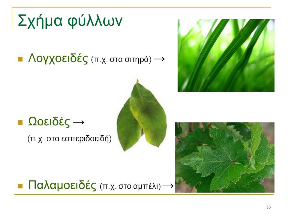 Σχήμα φύλλων Λογχοειδές (π.χ. στα σιτηρά) → Ωοειδές →