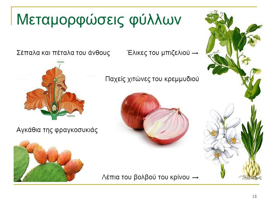 Μεταμορφώσεις φύλλων Σέπαλα και πέταλα του άνθους Έλικες του μπιζελιού → Παχείς χιτώνες του κρεμμυδιού.