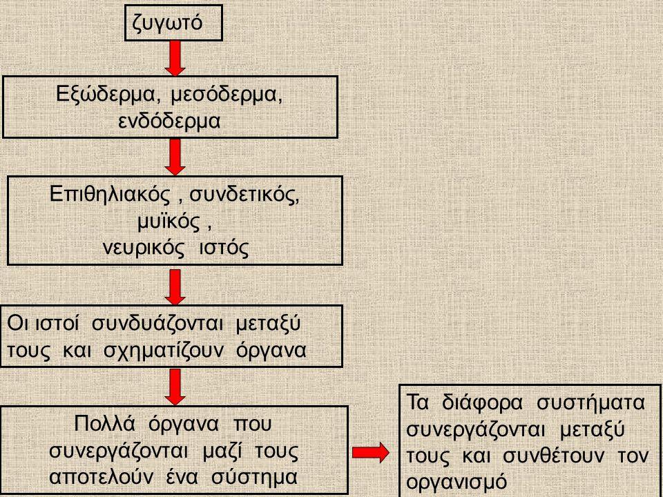 Εξώδερμα, μεσόδερμα, ενδόδερμα