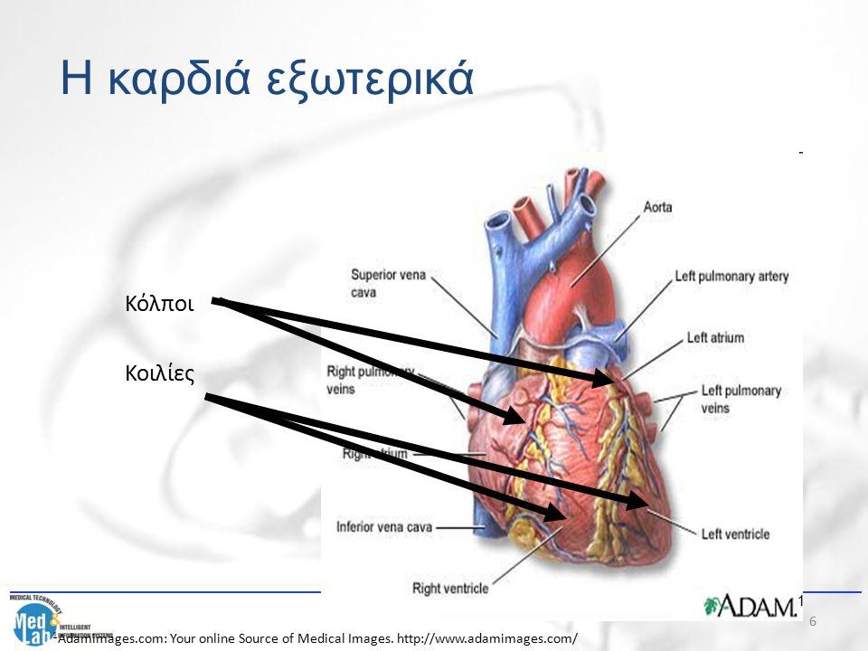 Η καρδιά εξωτερικά Κόλποι Κοιλίες 1