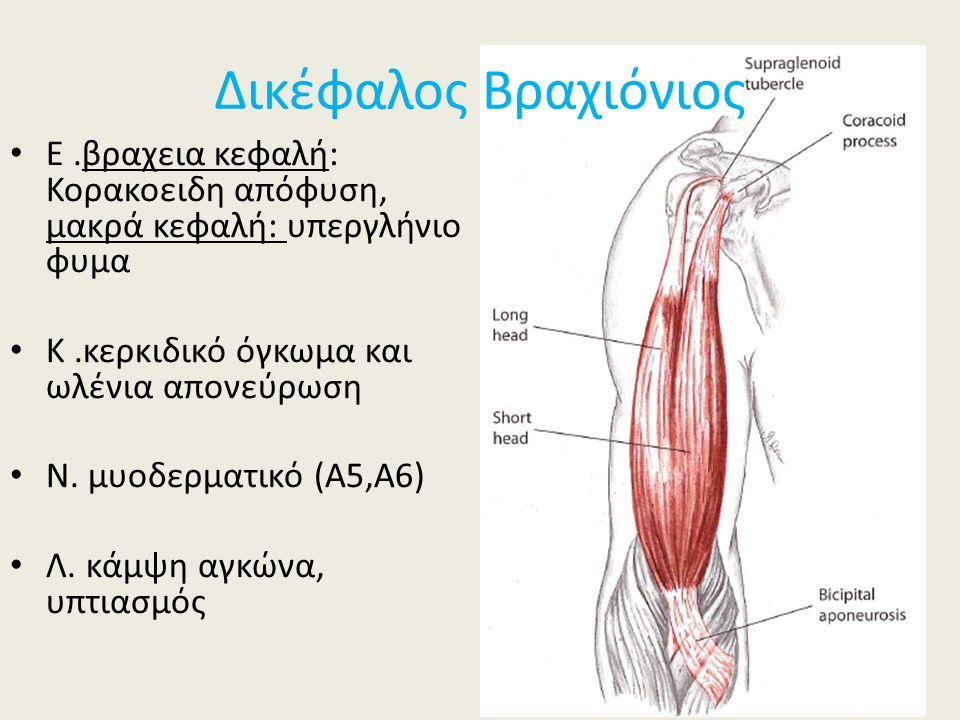 Δικέφαλος Βραχιόνιος Ε .βραχεια κεφαλή: Κορακοειδη απόφυση, μακρά κεφαλή: υπεργλήνιο φυμα. Κ .κερκιδικό όγκωμα και ωλένια απονεύρωση.