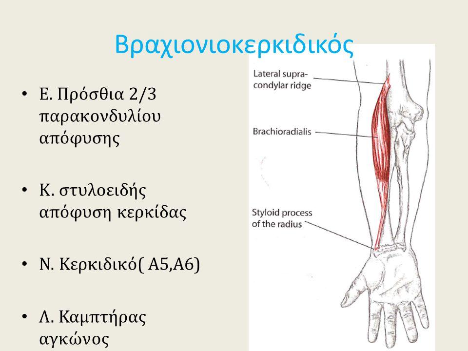 Βραχιονιοκερκιδικός Ε. Πρόσθια 2/3 παρακονδυλίου απόφυσης