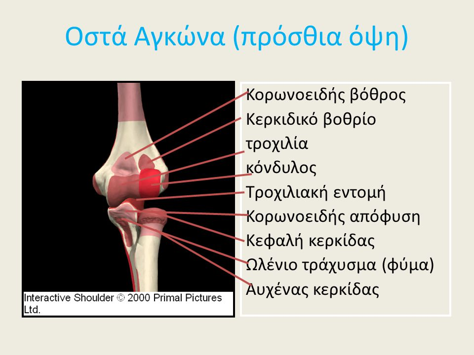 Οστά Αγκώνα (πρόσθια όψη)