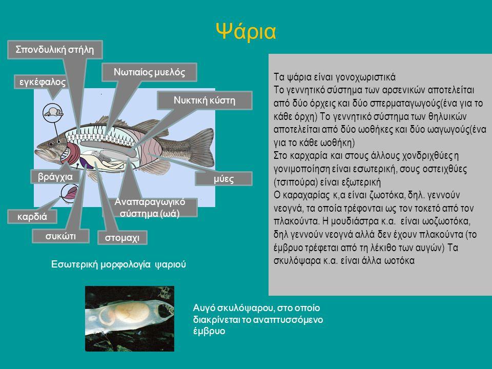 Αναπαραγωγικό σύστημα (ωά)