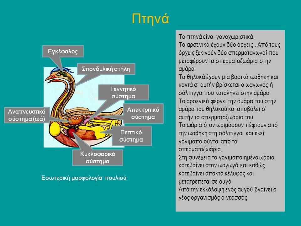 Αναπνευστικό σύστημα (ωά)