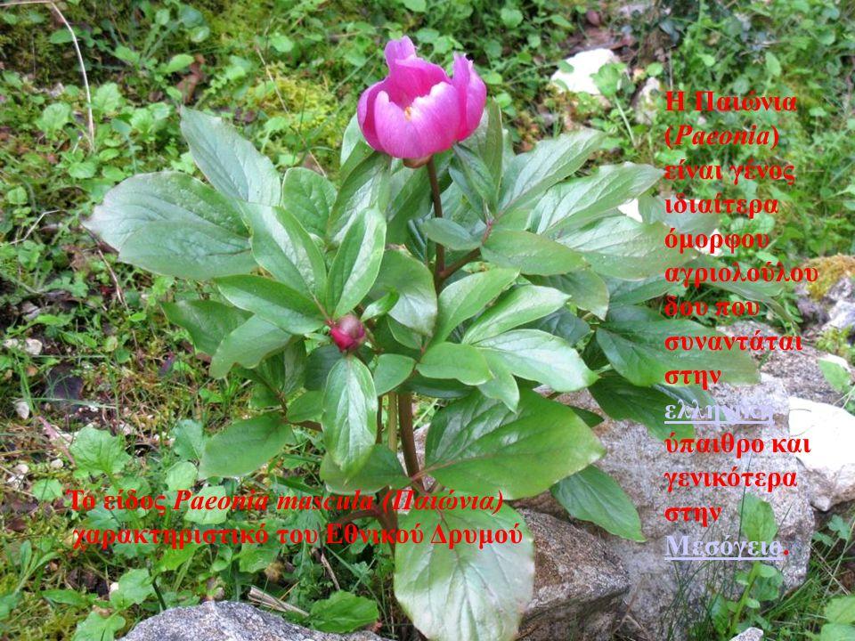 . Η Παιώνια (Paeonia) είναι γένος ιδιαίτερα όμορφου αγριολούλουδου που συναντάται στην ελληνική ύπαιθρο και γενικότερα στην Μεσόγειο.