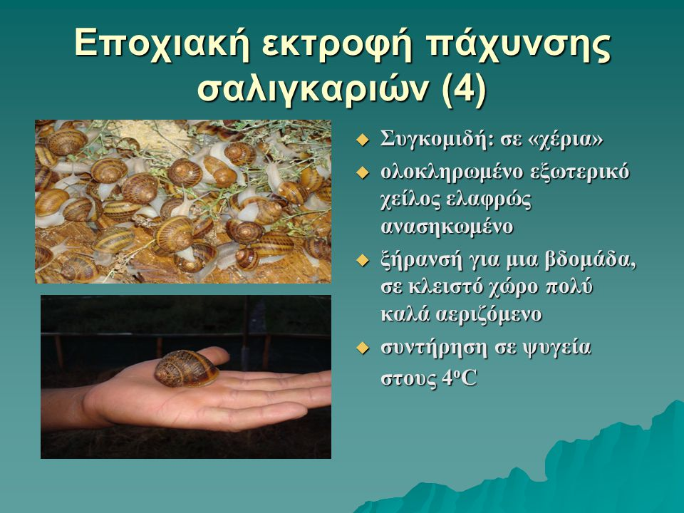 Εποχιακή εκτροφή πάχυνσης σαλιγκαριών (4)