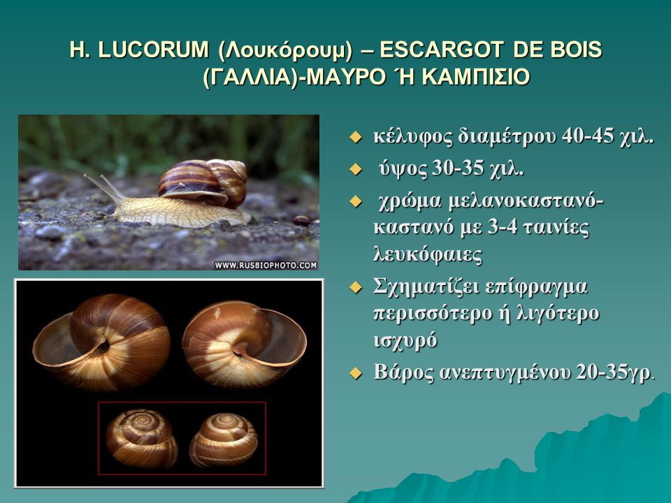H. LUCORUM (Λουκόρουμ) – ESCARGOT DE BOIS (ΓΑΛΛΙΑ)-ΜΑΥΡΟ Ή ΚΑΜΠΙΣΙΟ