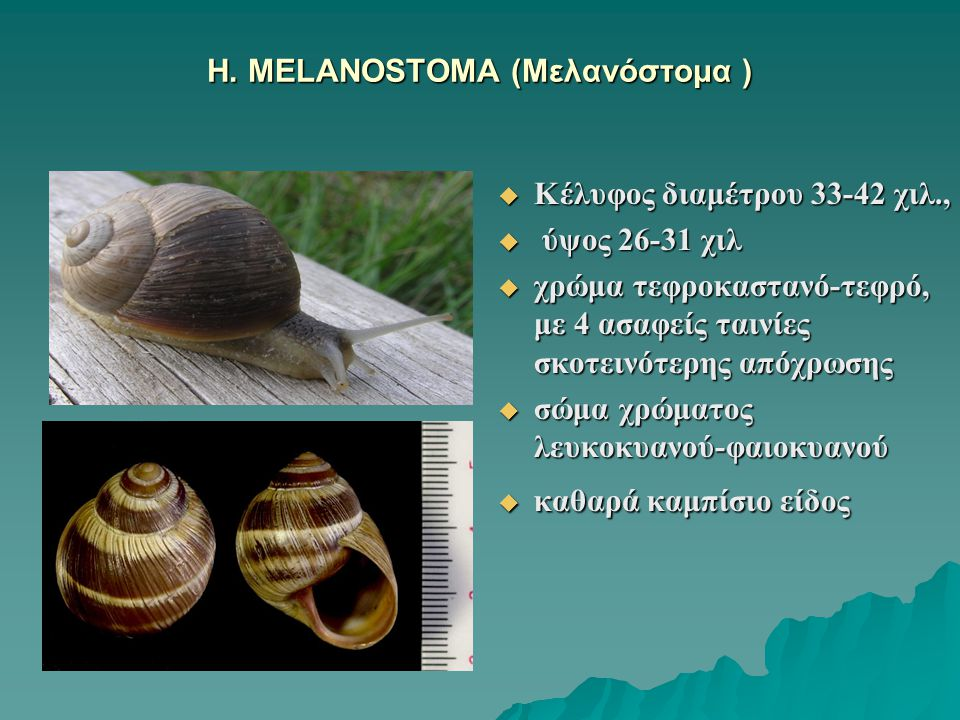 H. MELANOSTOMA (Μελανόστομα )