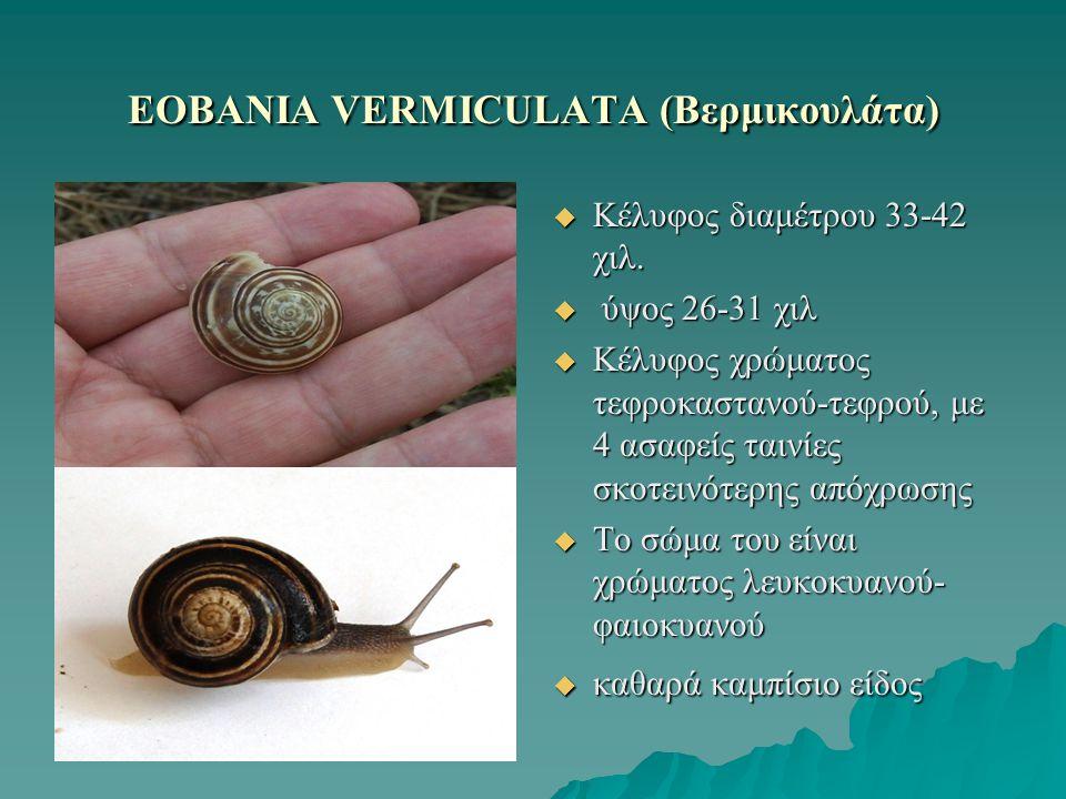ΕOBANIA VERMICULATA (Βερμικουλάτα)
