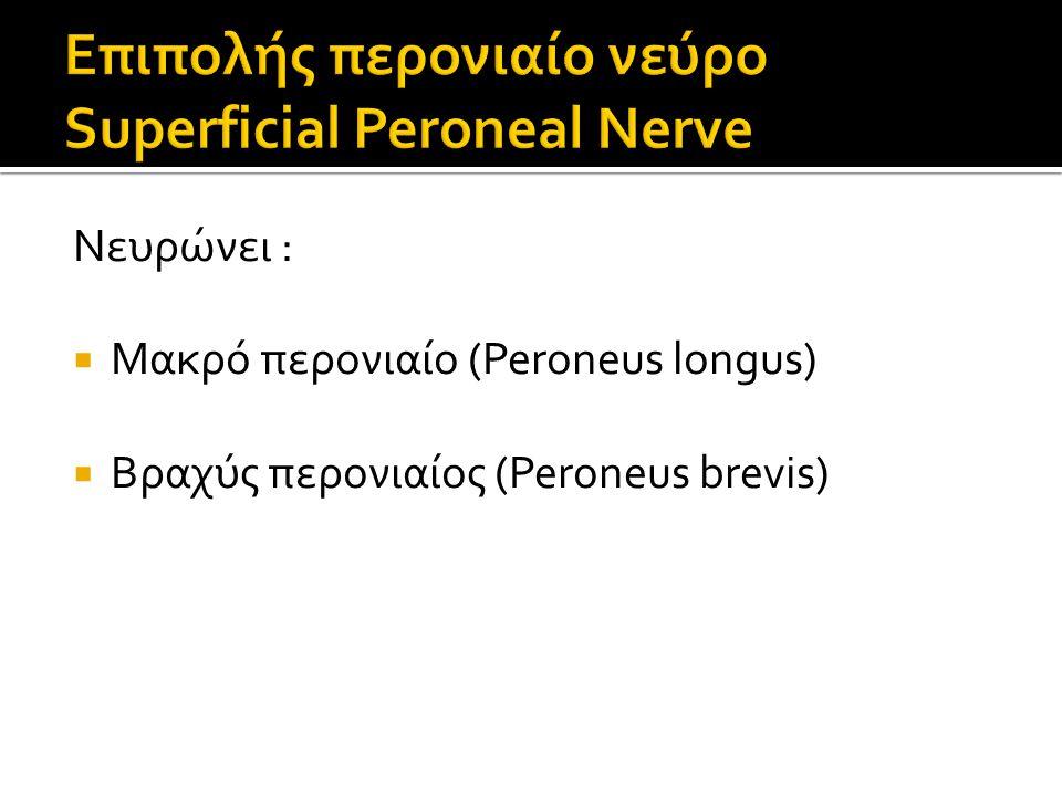 Επιπολής περονιαίο νεύρο Superficial Peroneal Nerve