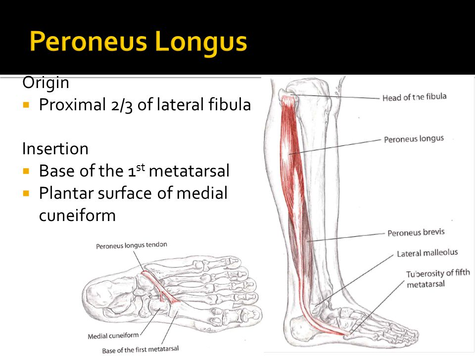 Peroneus Longus Origin Proximal 2/3 of lateral fibula Insertion